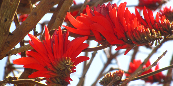Coral tree on Campus