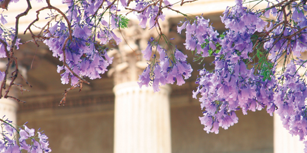 Wits Great Hall jacaranda blooms