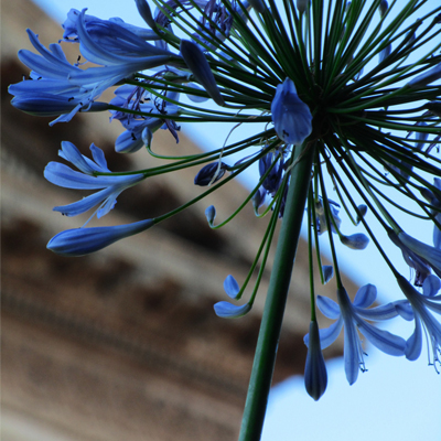 Agapanthus flower in front of Great Hall