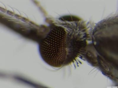 Close-up of head of Anopheles vaneedeni mosquito. Photo: Ashley Burke