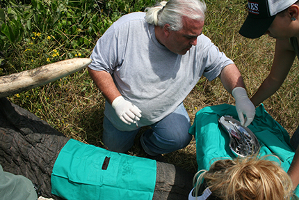 Prof Paul Manger and his team insert an activity data logger into the trunk of an elephant during the start of the study.