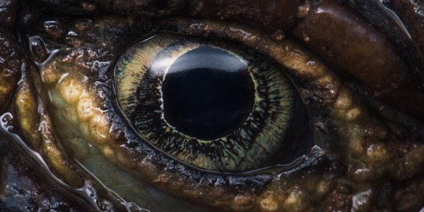 Close up image of the eye of a Sungazer lizard