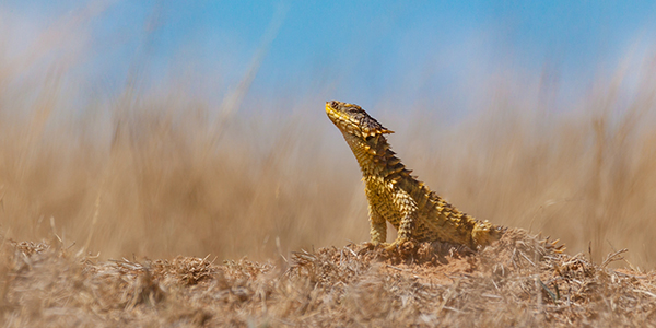 A Sungaser lizard in its natural environment. Picture: Shivan Parusnath.