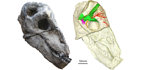 The brain of Moschops inside the transparent skull and in its inferred natural position.