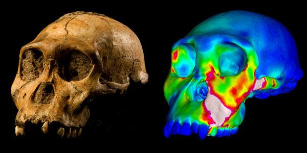 "The fossilised skull of Australopithecus sediba specimen MH1 and a finite element model of its cranium depicting strains experienced during a simulated bite on its premolars. ""Warm"" colors indicate regions of high strain, while ""cool"" colors indicate regions of low strain. CREDIT: Image of MH1 by Brett Eloff provided courtesy of Lee Berger and the University of the Witwatersrand."