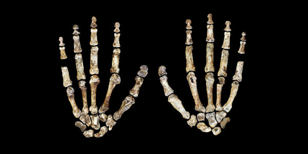 The complete hand of Homo naledi, shown in palmar (left) and dorsal (right) views. Credit: Peter Schmid_Wits University