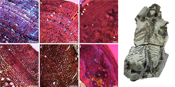 Osteohistological-sections-and-Lystrosaurus-specimens