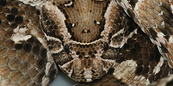 Puff adder closeup