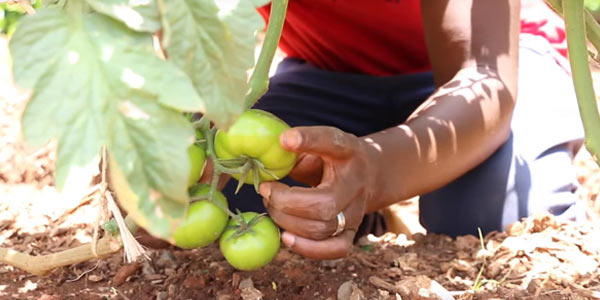 The Siyakhana Initiative for Ecological Health and Food Security works to improve food security, increase access to nutritious and sustainably grown foods.
