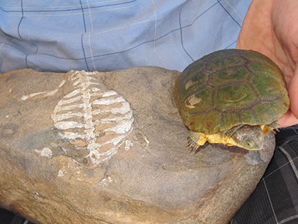 Fossil of the oldest proto-turtle, Eunotosaurus (left). Its broadened ribs were later incorporated into the modern protective turtle shell as found in Pelusios (right). Credit: Luke Norton.