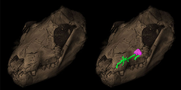 The maxillary canal for the trigeminal nerve (in green, right) and the corresponding pits on the snout (left) in a Therapsida Thrinaxodon