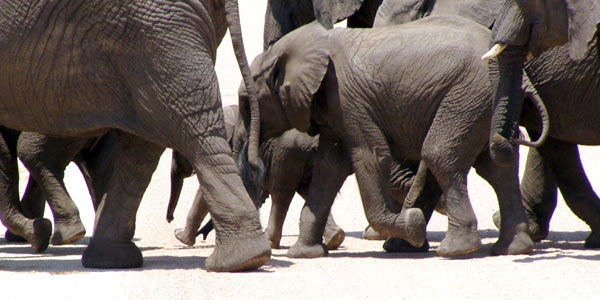 Elephants are important to understand the ecology of Africa.