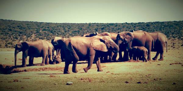 Elephants in the Addo National Park
