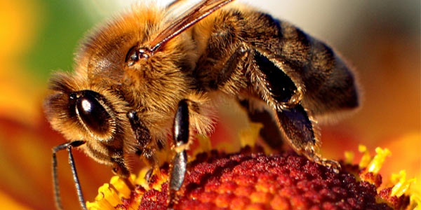 Honey bees are vital to ecology