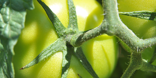 Close-up of green tomato