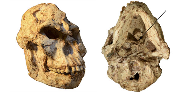"Pictures of the ""Little Foot"" skull. The inferior view (left) shows the original position of the first cervical vertebra still embedded in the matrix. Credit: R.J. Clarke."