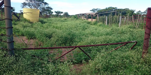A cattle kraal is left abandoned due to a Parthenium infestation in Malelane, South Africa. Credit:  Blair Cowie