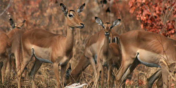 The seasonal dietary migration of Impala in the Kruger National Park in South Africa rivals the geographical migration of wildebeest in the Serengeti National Park in Tanzania.