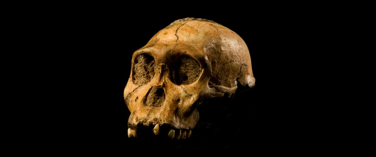 The cranium of Malapa hominid 1 (MH1) from South Africa, named